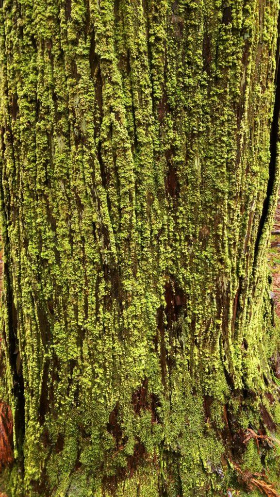 老木に群生する苔